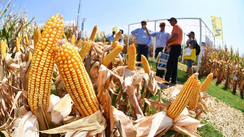 La cosecha de maíz cerró con un récord de 60,5 millones de toneladas
