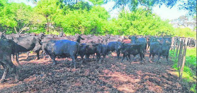 El potencial de una ganadería santafesina profesionalizada